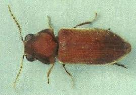 The Death Watch Beetle